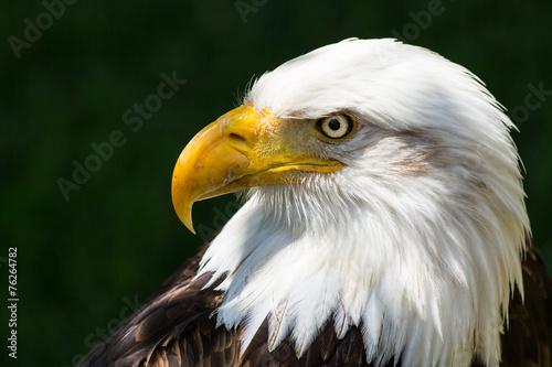 In de dag Eagle Bald eagle - Haliaeetus leucocephalus