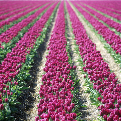 tulip field, Netherlands