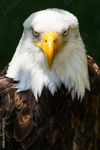 Fotobehang Eagle Bald eagle - Haliaeetus leucocephalus