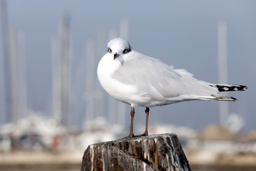 seagull in the pole of pier near venice
