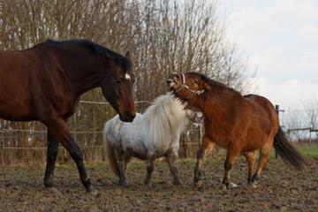 Pony greift an