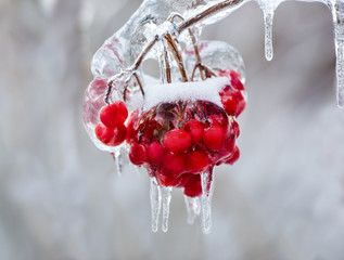 Close Up of Frozen Red Berries on a Tree