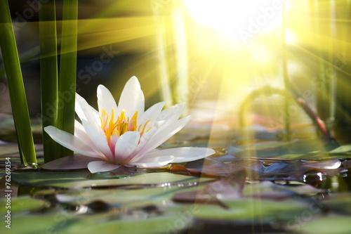 Deurstickers Water planten lotus flower