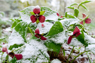 Red Trilliums in Snow