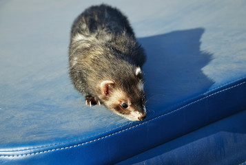 Cute ferret sitting on blue suitcase