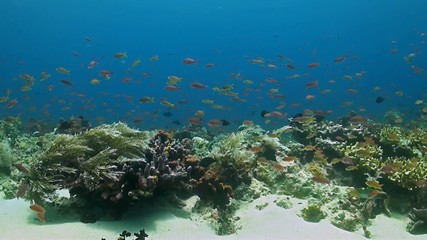 Coral reef with Anthias and Damselfish
