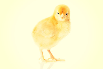 Small yellow Easter chicken.