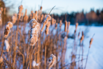 Winter landscape with snow-covered reeds