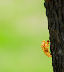 Cicada exoskeleton on a tree bark