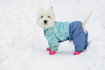 White spitz in winter dress on a snow