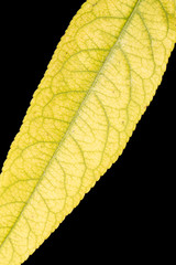 autumn leaf. close-up