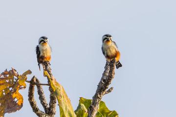 Couple of Collared Falconet (Microhierax caerulescens)