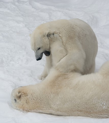 game polar bear