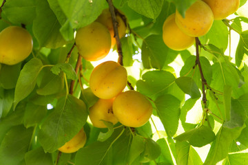 ripe apricots on a tree branch