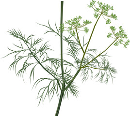 illustration with green dill on white