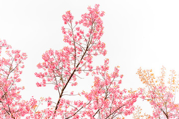 Wild Himalayan Cherry spring blossom on white background