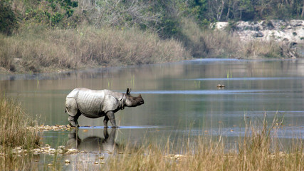 Greater One-horned Rhinoceros.in Bardia Nepal