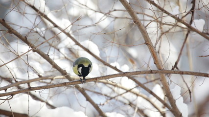 Small Tit eating seed on the branch