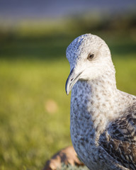 Seagull 13