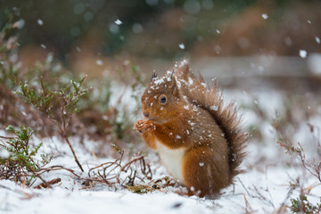 Red Squirrel sitting in snow fall