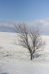 lonely tree in the snowy steppes