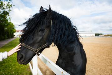 Portrait of a frisian horse