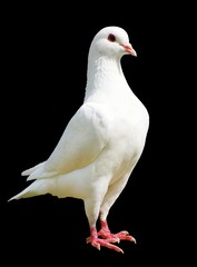 White pigeon isolated on black background