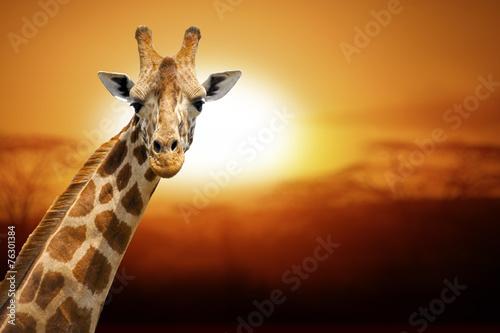 Foto op Plexiglas Afrika Giraffe