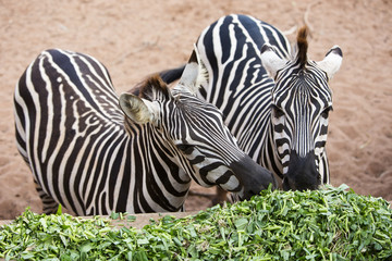 Zebra eating morning glory.