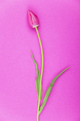 Pink Tulpen vor pink Hintergrund