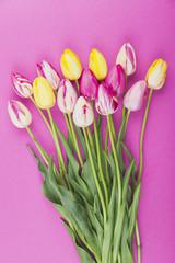 Bunte Tulpen vor pink Hintergrund