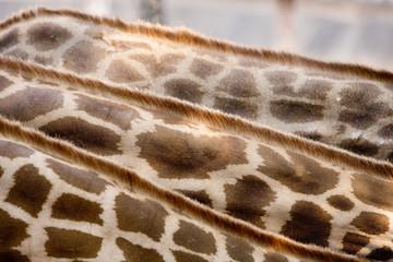 Skin and feather Giraffe.