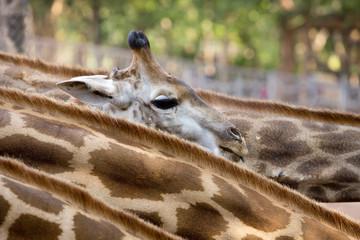 Cute Baby Giraffe.