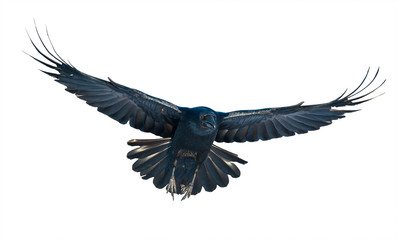 Raven in flight on white