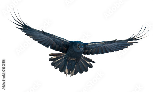 Aluminium Vogel Raven in flight on white