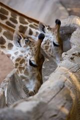 Giraffe eating grain food  on gutter wood.