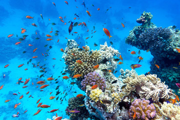 coral reef  with exotic fishes anthias in tropical sea