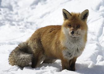 volpe sulla neve