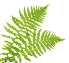 ferns isolated on white, cutout