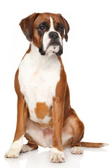 Boxer dog on white background