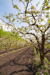blooming apple garden
