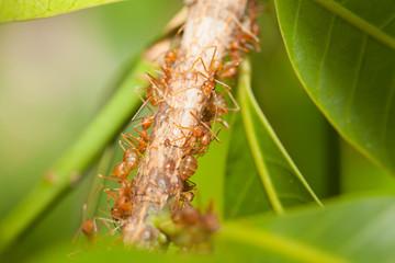 Aphid-Herding Ants