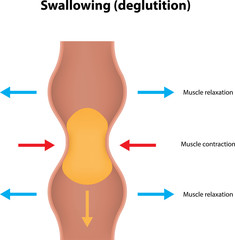 Swallowing (deglutition)