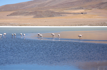 Wild flamingos in the lagoon of Bolivian Andes, Uyuni