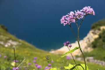 Violette Blume vor blauem Wasser