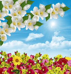 branch of jasmine flowers on a background of blue sky with cloud