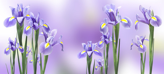iris flowers isolated