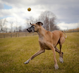 Silly great Dane with yellow ball over head and cloudy sky