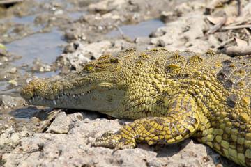 Young crocodile near the water