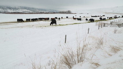 Cattle Feeding in Winter dolly shot